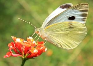 Butterfly-solar-energy-biomimicry